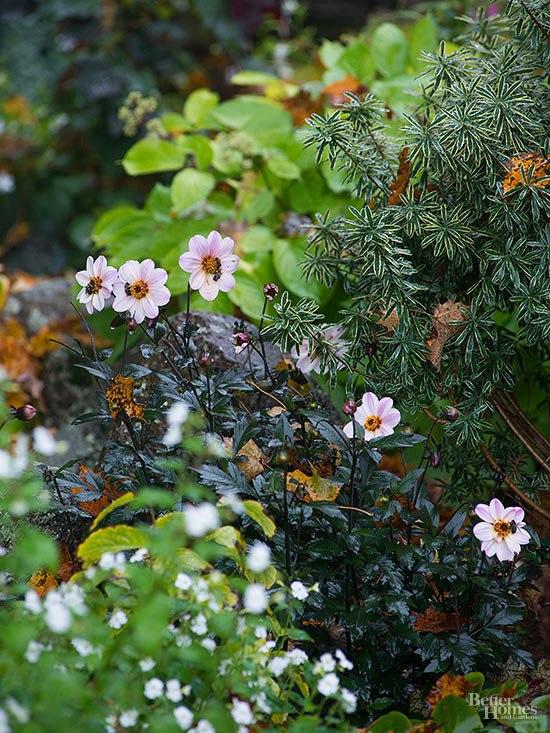 Осенний сад на даче-георгины, броваллия «Сильвер Белл»