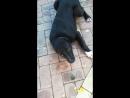 СУРДАН КАРАШ МЕДВЕДЬ (6 мес., г.Клин) - видео от владельцев
