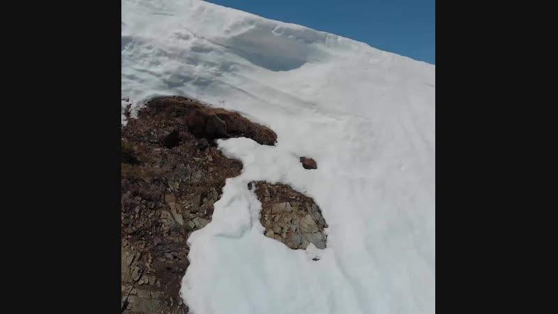 Этот упавший медвежонок показывает, что упорство окупается, когда он поднимается по заснеженной горе к своей маме