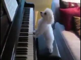 Hund spielt klavier