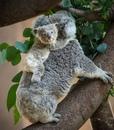 Беременность длится всего около месяца, в помете коалы всегда лишь один детеныш(