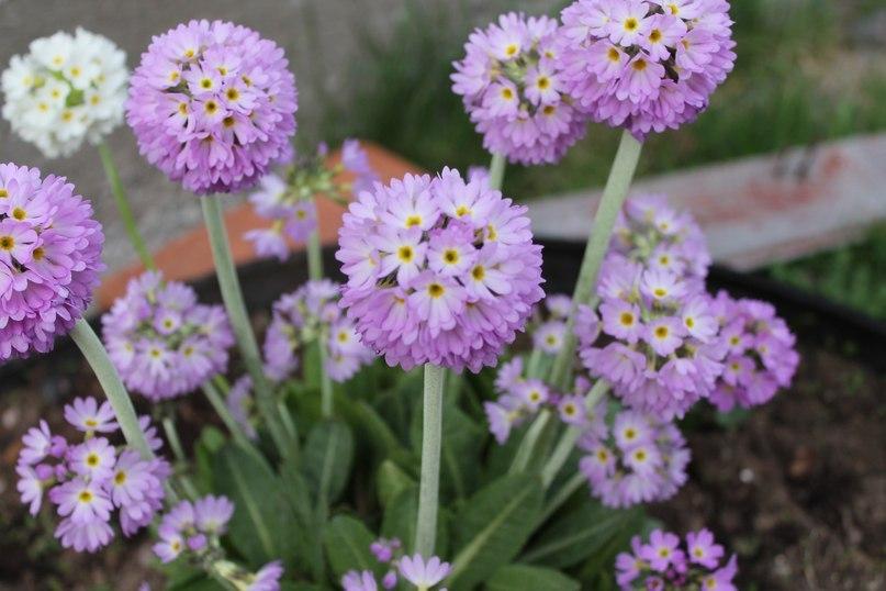 Примула - многолетнее растение для слабокислых влажных почв-Примула помпонная
