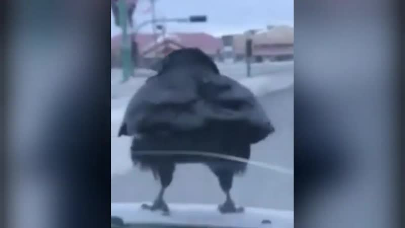 Ворон водит машину юмор короткие смешные видео приколы lustige Videos