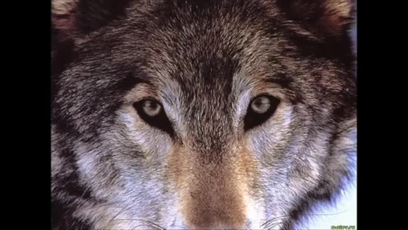 Волк отомстил, но отомстил без крови