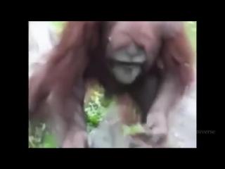 Orangutan-saves-friend-from-drowning