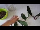 Меняю способ Реанимации орхидей из г. Тихорецка