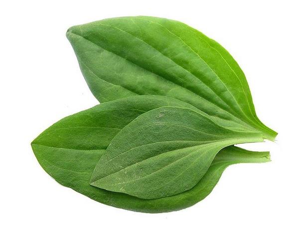 От всех болезней - подорожник! Подорожник - одно из старинных лекарственных растений. Он был известен еще в Китае, Древней Греции и Риме, это растение высоко ценили персидские и арабские