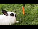 Кролики - лишний вес у кролика. Как с ним бороться
