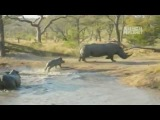 Baby Rhino Fights Large Male Rhino To Save His Mom