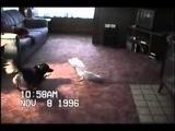 собака боится от лающего какаду