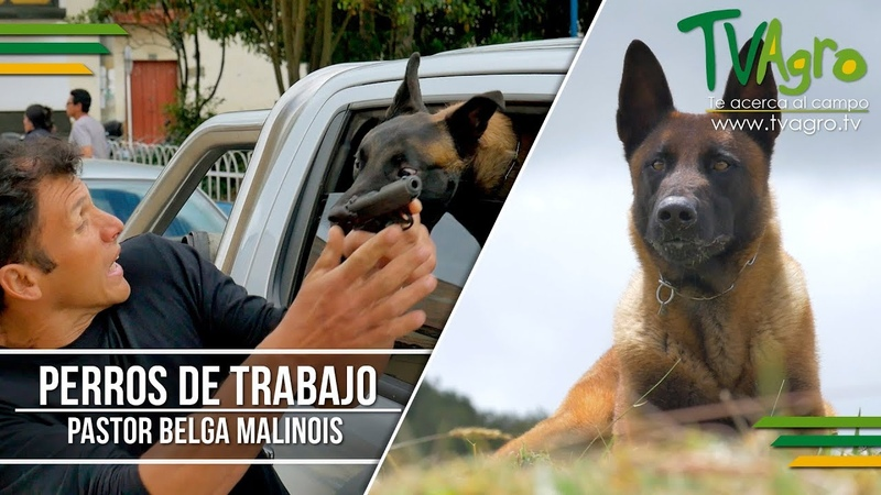 Perros de Trabajo Pastor Belga Malinois - TvAgro por Juan Gonzalo Angel
