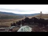 Разводить снежных баранов планируют на острове Завьялова в Магаданской области