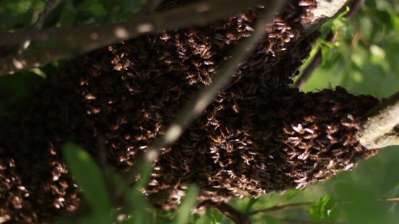 Пчелиный рой - июнь 2018