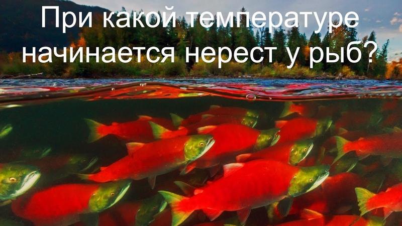 При какой температуре начинается нерест у рыб