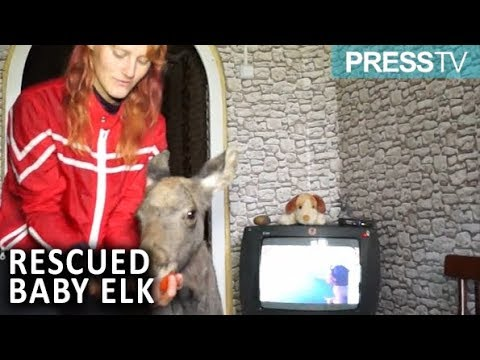 Rescued baby elk lives with family