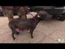 Кормящая мама-питбуль понимает, что люди приехали спасать ее щенков