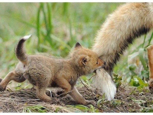 Лисенок с мамой, Камчатка, Россия