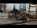 всемдобра😘 в такую невзрачную пору только кошки нам в помощь🤔 дождивмоскве☔️☔️☔️ мейнкунмосква 😽 amorecoon 🎼