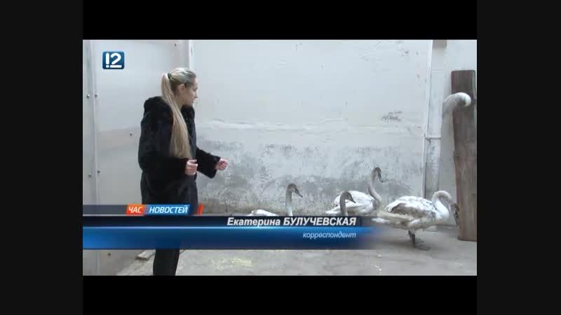Омские орнитологи выясняют, почему лебеди отказались улететь в теплые края