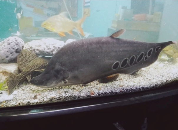 Мой друг Игорь Моя мама очень любит аквариумных рыбок, особенно скалярий и гурами. Сколько себя помню, в связи с частыми переездами, в нашей семье появлялись и исчезали аквариумы с этими и