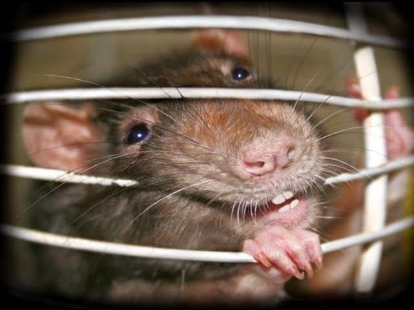 как поймать мышь как поймать крысу Easy MouseRat Trap