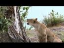 Львица схватила обезьяну, но заметив детёныша сделала невероятное