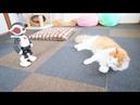 ロビくんと猫たち【Norwegian Forest Cat Weegie 茶白猫ルーさん 白い猫サラ ノルウェージャ