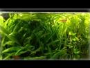 Аквариумная рыбка меченосец меченосцы размножение содержание выращивание мальков
