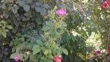 Сезонная подкормка и обработка саженцев роз, Питомник роз Полины Козловой,