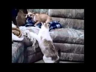 ROFLTV.RU Кошка испугала собаку