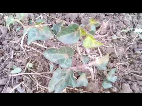 Результат подзимнеего черенкования растений, что принялось!