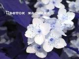 Цветок жасмина. Автор музыки - С.Саркисян