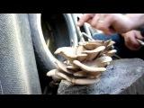 Вешенка, уход за грибами и пеньковыми грядками