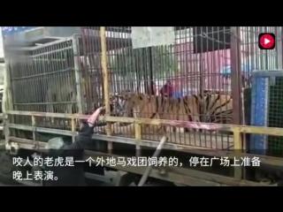 老大爺餵食路邊馬戲團准備表演的老虎手被死咬不放