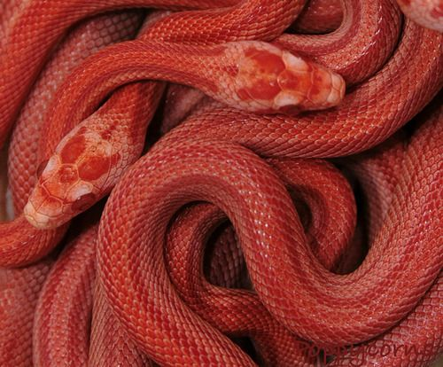 обои кобра змея