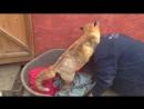 Спасенная людьми лиса стала совсем ручной и ведет себя как собака Видео прикол