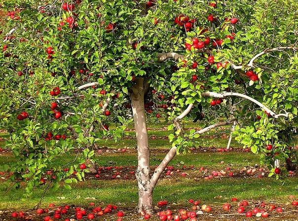 как правильно сажать яблоню: 7 главных советов 1. весной плодовые саженцы высаживают до распускания почек, сразу после оттаивания почвы. если саженцы не прикопаны с осени, быстренько