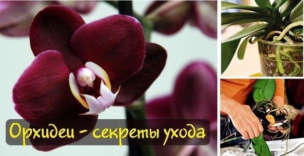 ОРХИДЕИ – СЕКРЕТЫ УХОДА. Вы стали хозяйкой орхидеи? И теперь пребываете в смятении, как за ней ухаживать? Всего несколько несложных советов и любимый цветок будет радовать Вас своим цветением постоянно. Читать полностью