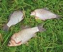 ...видео онлайн передача рыбачьте с нами ловля карася, зимная рыбалка на карася снасти прикормка раживка...