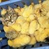 Суточные замороженные цыплята, кормовые грызуны