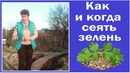 Как и когда сеять зелень Посев семян петрушки кинзы щавеля