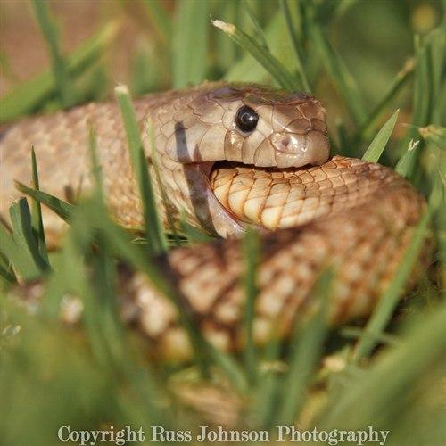 Западная коричневая змея (Pseudonaja nuchalis)