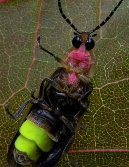Молниеносные насекомые используют аденозинтрифосфат для излучения света
