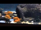 Красноухие черепахи едят рыбу