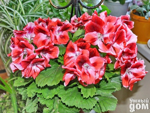 Фитонцидные свойства ГЕРАНИ Фитонциды - это вещества, которые вырабатываются растением и способствуют уничтожению бактерий и грибков. Известно, что воздушная среда содержит патогенные организмы, которые, попадая в дыхательные пути, могут вызывать острые респираторные заболевания и аллергические реакции. Период фитонцидной активности приходится на зимне-весенний период, когда уровень заболеваемости вирусными инфекциями повышается во много раз. Даже в малых дозах фитонциды могут подавлять…