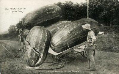 Найбільші огірки в світі