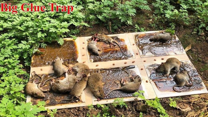 Bigest Glue Trap 2019 Glue Trap Trap Work Saving 12 Mice Glue Trap Is Best Mouse Trap