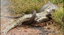 Python vs Crocodile - Hunter becomes the Hunted Compilation Amazing Footage