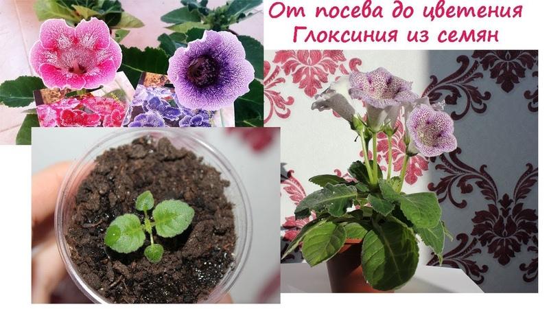 Сборник Глоксиния от посева до цветения Валентина Земскова