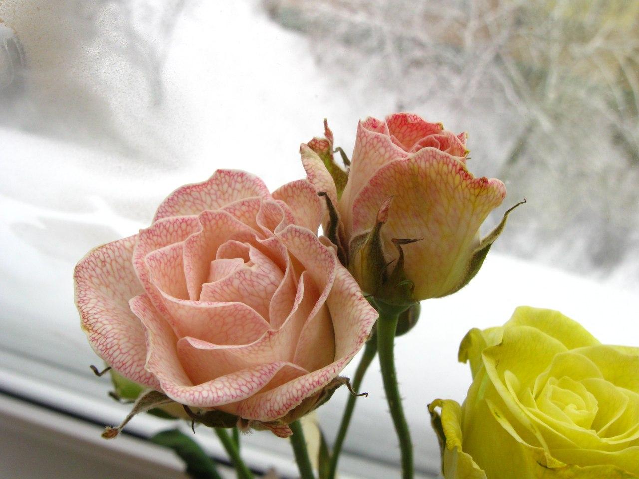 Сироп для чтобы розы простояли дольше люблю цветную капусту
